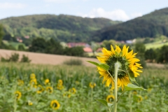 Bierwanderung Franken Sonnenblumenfeld
