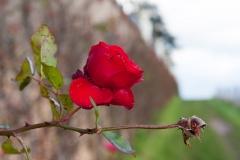 Rote Rose Rheingau